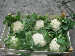 Сбор цветной капусты