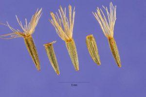 Семена лиатриса