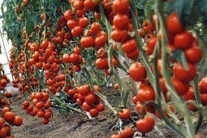 tomat-sorta-blagovest-naibolee-priemlem-dlya-vyrashhivaniya-v-teplice