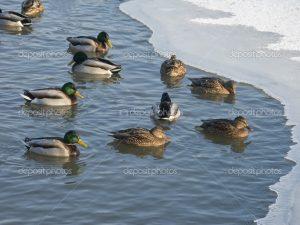 Утки в пруду зимой