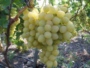 Виноград восторг белый описание сорта фото