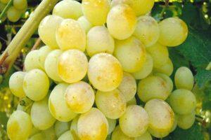 Виноград восторг оригинальный