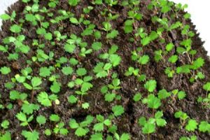 Выращивание из семян земляника