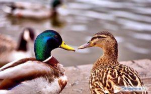 Зачем различать утку и селезня
