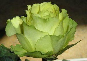Зеленые розы green ice