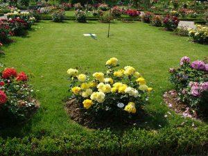 Зеленые розы в саду