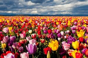Какого цвета бывают тюльпаны: названия и фото сортов от привычного красного до редкого черного