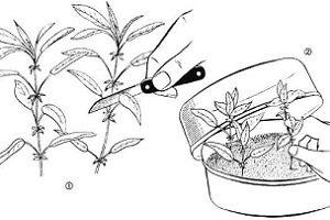 razmnozenie_rododendronov_4erenkami
