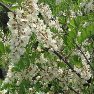 Черенки дерева белой акации