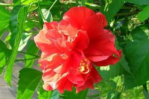 Комнатные цветы роза китайская уход