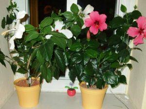 Как растить дома китайская роза