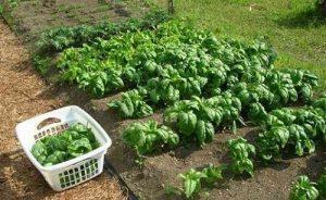 Как выращивать шпинат