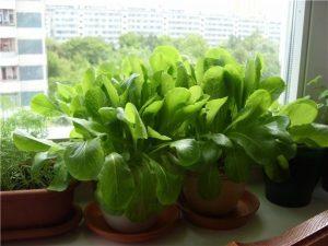 Как выращивать шпинат дома