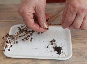 Семена приумлы