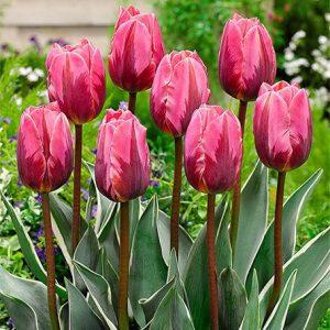 Тримуф тюльпан