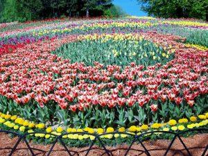 Тюльпаны на клумбах