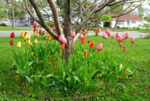 Тюльпаны под деревьями