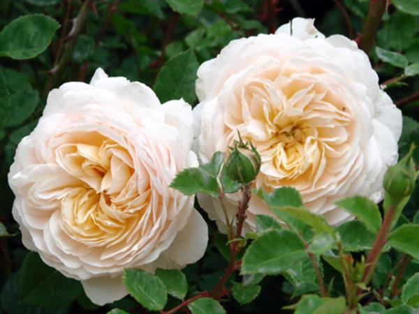 Английские розы Дэвида Остина и их сорта