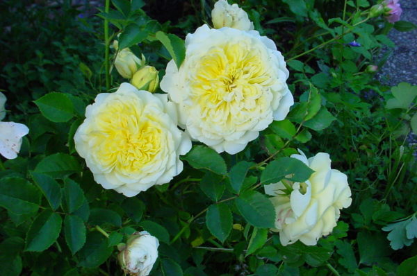 Роза английская