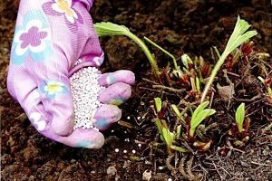 Подкормка клубники весной: чем и как удобрять для увеличения урожая, весенняя внекорневая подкормка до цветения видео, названия удобрений