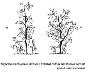 Дерево малина Крепыш: описание сорта