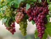 Виноград восторг описание сорта фото