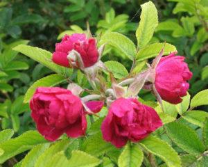 Роза ругоза