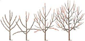 Обрезка яблонь формирование кроны