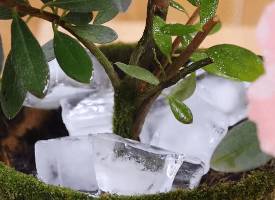 Азалия с кубиками льда