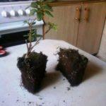 Деление корня азалии