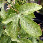 Лист поражён паутинным клещом