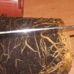 Продольные надрезы кома с корнями