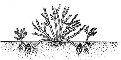 Схема размножения отводком