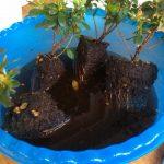 Замачивание корней азалии