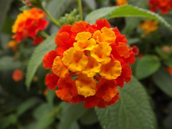 Лантана оранжевая