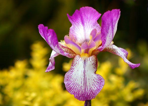 Ирис бело-фиолетовый
