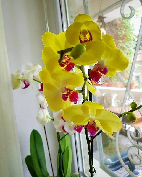 Орхидея фаленопсис желто-красная