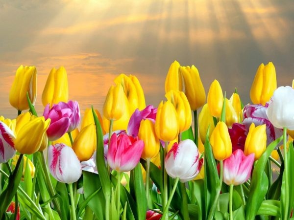 Разноцветные тюльпаны — одни из самых красивых цветов в мире
