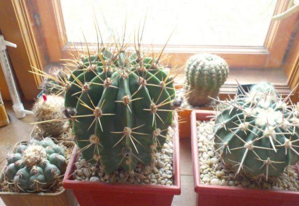 Несколько видов кактусов