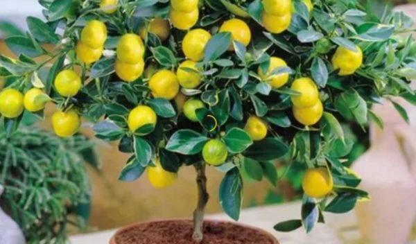 Декоративный лимон в горшке