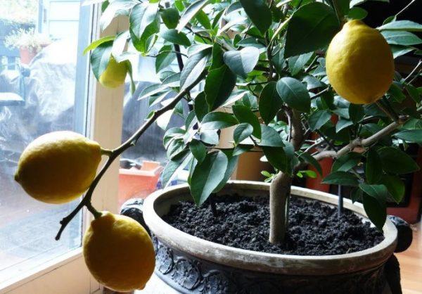 Плоды декоративного лимона