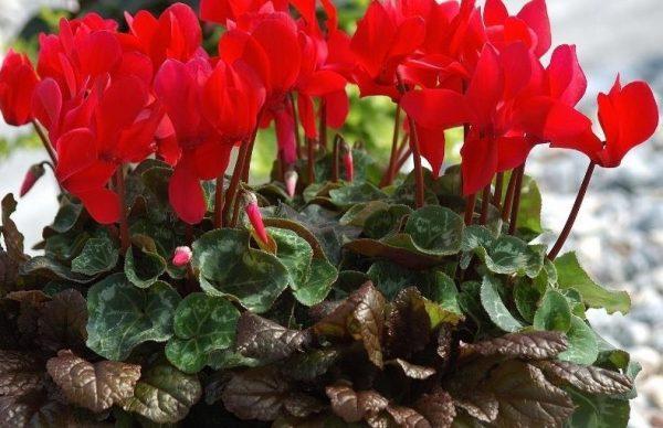 Цикламен с красными цветками
