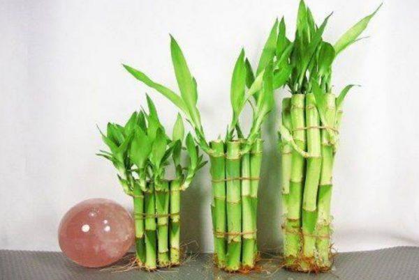 Ростки декоративного бамбука