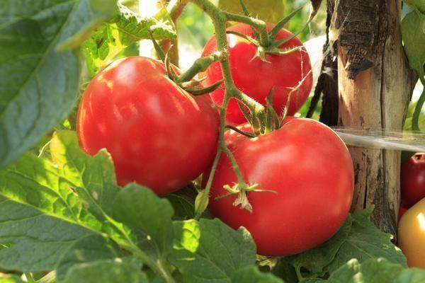 чего нельзя делать при выращивании помидоров