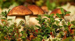 Как правильно собирать грибы — срезать или выкручивать?