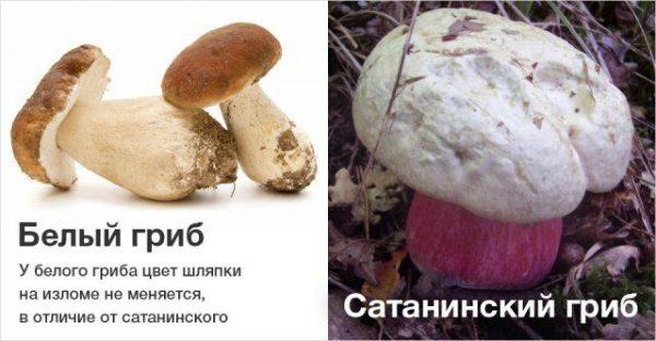 Белый гриб и сатанинский гриб