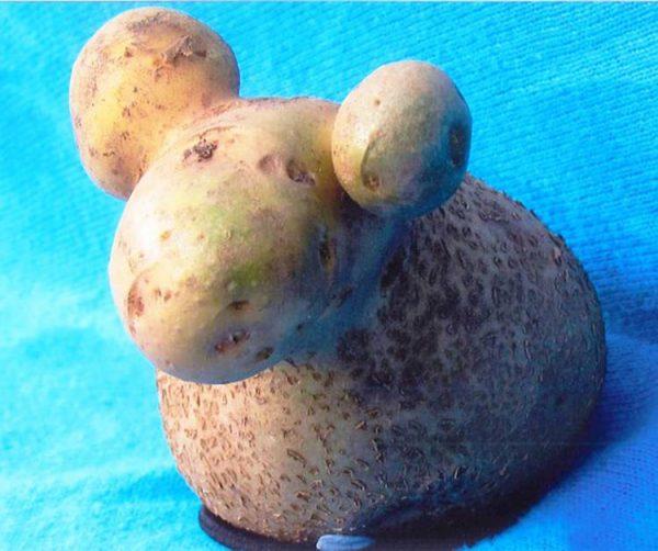 Картофель-барашек
