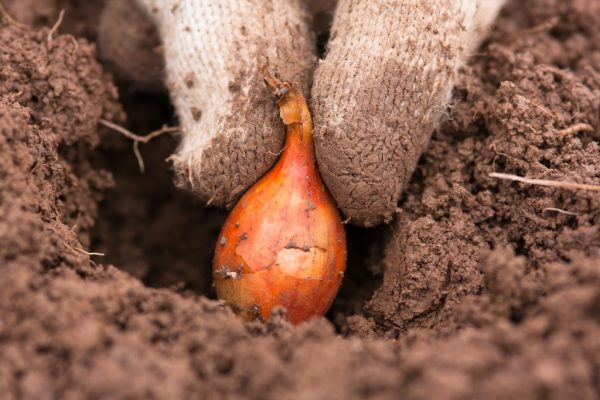 высадка лука в открытый грунт