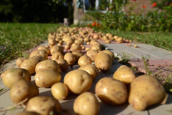 Калибровка клубней картофеля