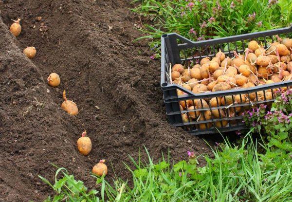 проращивание картошки в грунте